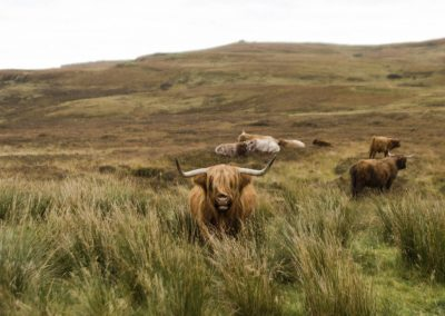 Highland Cows on Skye by Adam Morse